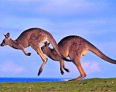 Kloklani, australský národní symbol i aktuální problém
