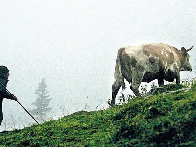 Pasák v podhůří bavorských Alp u střediska Geitau má co dělat, aby udržel svůj skot na nohou. Udeřily první mrazíky a na zemi se objevila jinovatka.