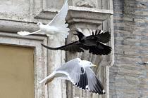 Dvě bílé holubice míru, které v neděli nechal symbolicky vypustit papež František v rámci výzvy ke klidu na Ukrajině, napadli agresivní větší ptáci.