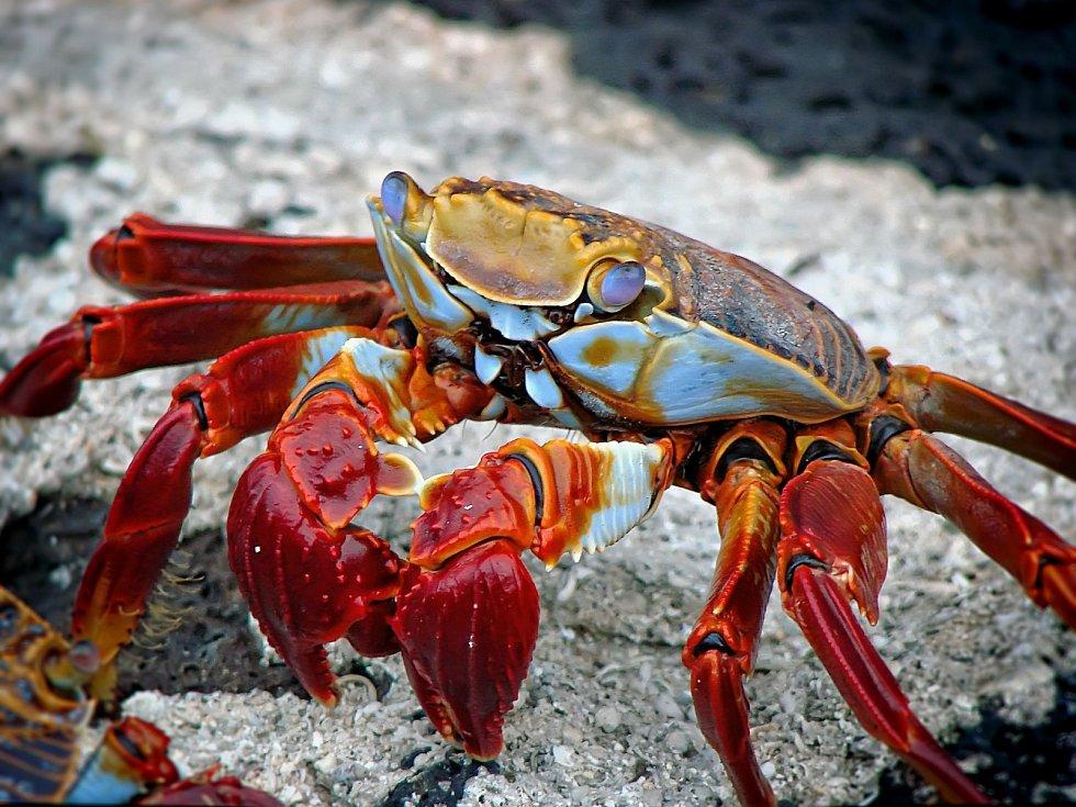 Krab - Ilustrační foto
