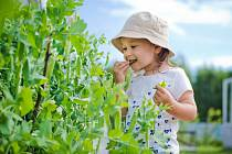 Sladký hrášek je jedním z nejjednodušších druhů zelenin, které je možné na zahradě vypěstovat, a výborně se hodí pro malé zahradníky.