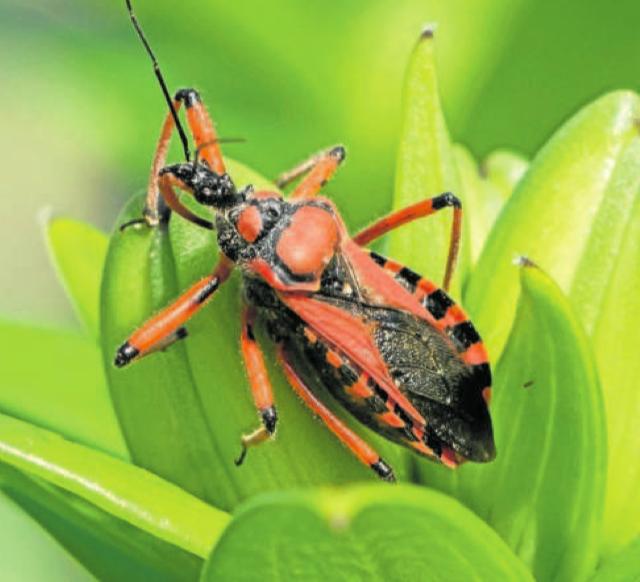 Brouk zákeřnice. Nejčastěji loví pavouky nebo mravence. Troufnou si ale i na mnohem větší kořist. Ploštice neboli zákeřnice jsou například jedinými tvory, kteří se živí upíry.