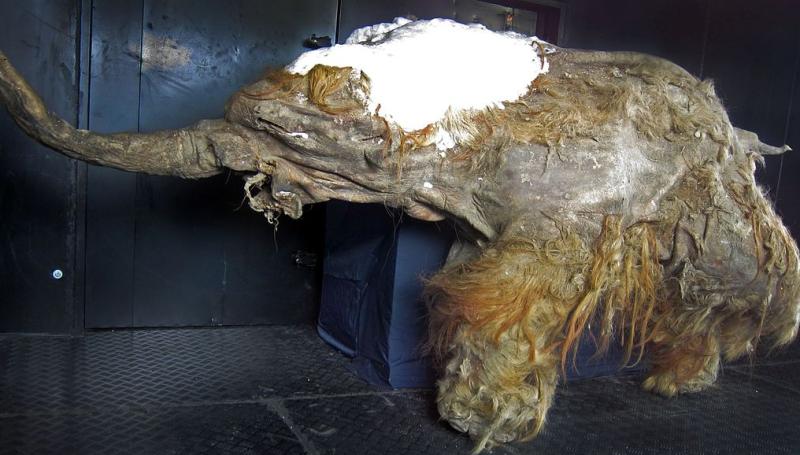 Jeden z nejlépe dochovaných mamutů