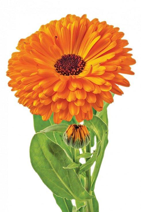 Při sběru dáváme přednost plnokvěté oranžové barvě, jinak zbarvený květ měsíčku má slabší účinek.