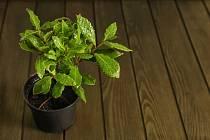 Vavřín lze pěstovat jako přenosnou rostlinu