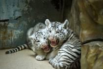 Očkování, vážení a čipování mláďat bílých tygrů v liberecké zoo.