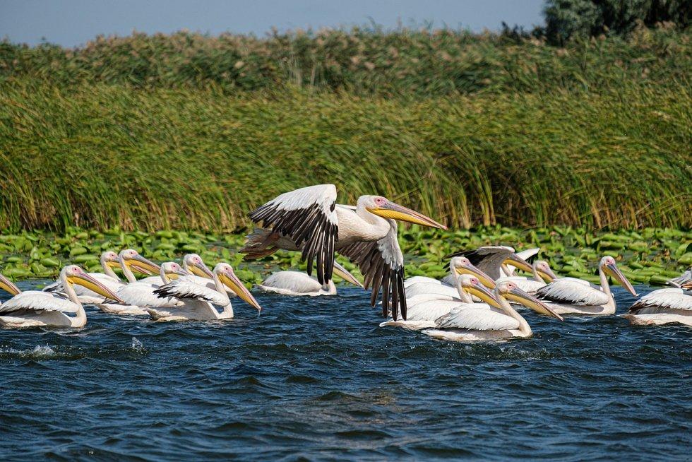Ráj pelikánů. Delta Dunaje s tisíci kilometrů nedotčeného území je hnízdištěm obrovského množství ptáků, mezi nimi také největší evropské populace obřích pelikánů.