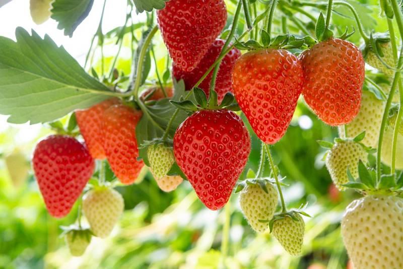 Mějte na mysli, že kořenům jahodníků nejvíce škodí přímé sluneční paprsky.