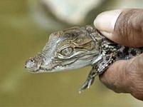 Takto vypadá týden starý krokodýl.