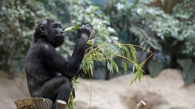 Gorila v pražské zoo - Ilustrační foto