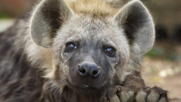 Samičky hyeny předstírají, že jsou samci. Mají falešný penis. Udržují si díky tomu dominantní postavení ve smečce.