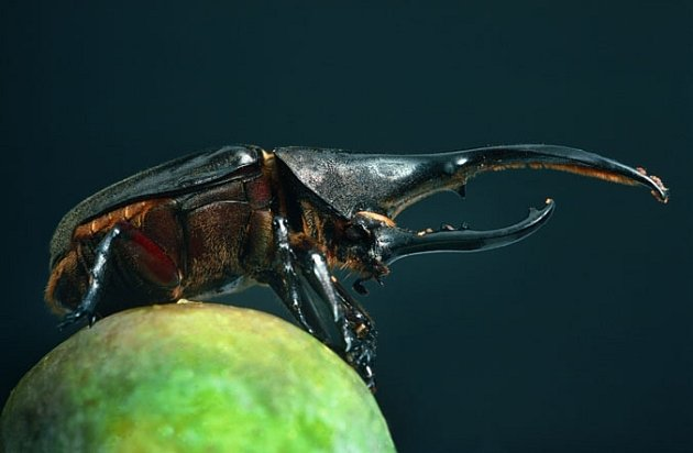 Tropický nosorožík saje šťávu z papáje.