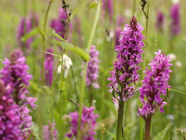 Prstnatec (druh orchideje).