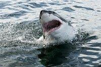 Žralok bílý, ilustrační foto