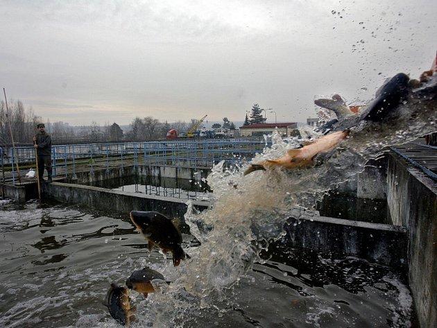 Už před několika dny prosince přijeli kapři z třeboňských rybníků na sádky do Lahoviček