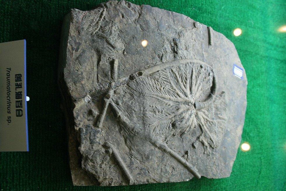 Zkamenělá lilijice z Pekingského paleontologického muzea