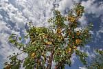 Meruňky v ovocném sadu - ilustrační foto