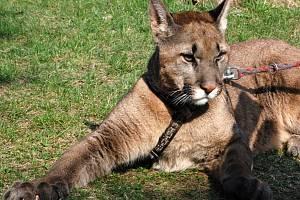 Puma americká. Ilustrační foto