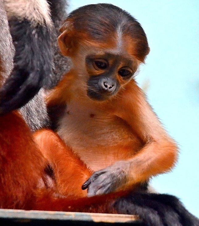 Opička langur duk, ZOO Chleby