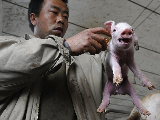 Čínský zemědělec očkuje sele protichřipkovou vakcínou. Čína zakázala dovoz prasat a masa z Mexika po propuknutí tzv. prasečí chřipky.