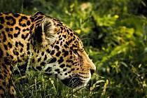 Jaguáři jsou spíše samotářští predátoři, kteří se živí velkými savci.
