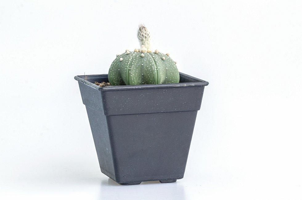 Je-li chladno a delší dobu neprší, mají mnohé kaktusy růstovou pauzu – většina druhů zkrátka roste v létě a v zimě odpočívá.