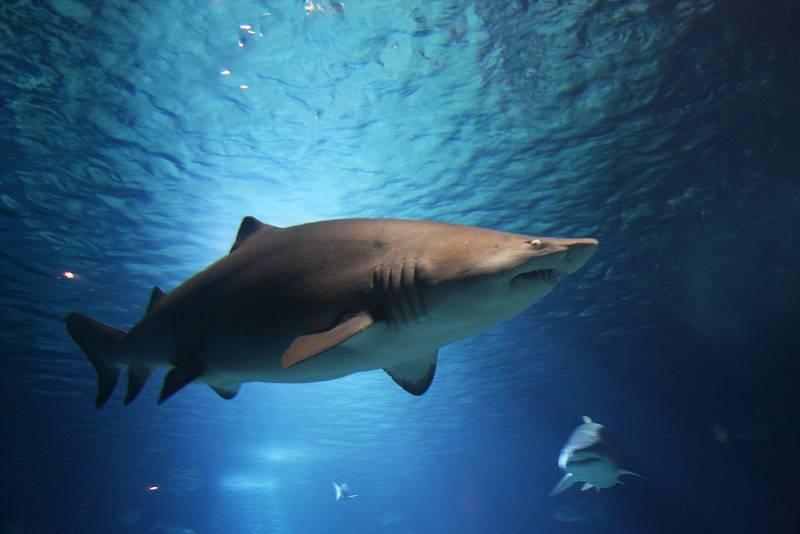 Žralok v moři. Ilustrační snímek
