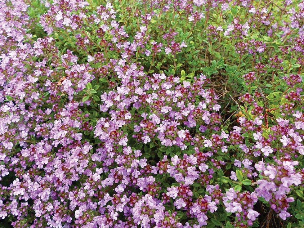 Roste na suchých ivápencových půdách aslunných stráních.