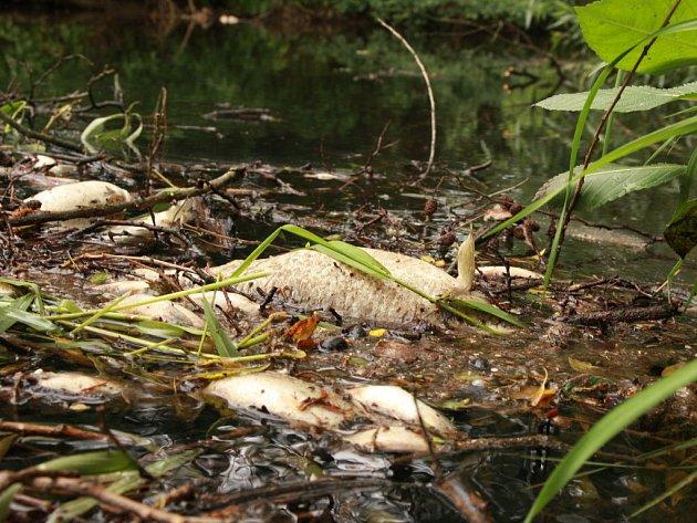 V Kozském potoce v Sezimově Ústí se ve vedrech od pátku rozkládají stovky ryb.