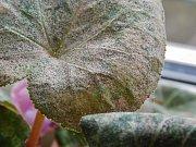 Sviluška vytváří na listech drobné pavučinky.