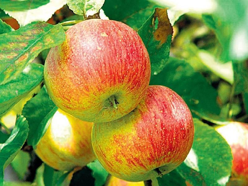 Pro různé akční nabídky obchodníci žádají i výkupní cenu jen kolem deseti korun za kilogram. Na pultech pak jablka stojí minimálně třikrát tolik.
