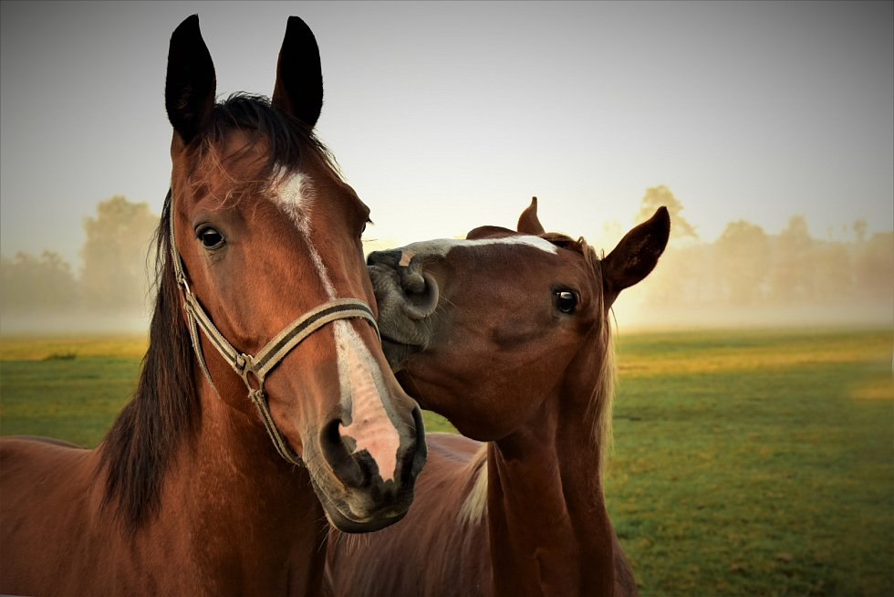 Koňská láska.