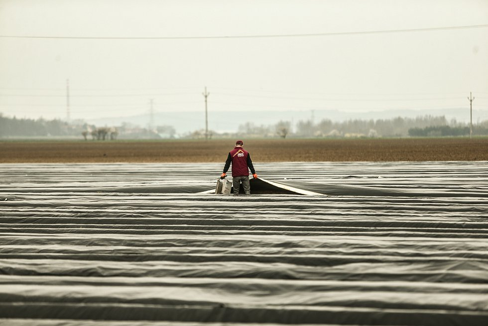 Ministr zemědělství Miroslav Toman na návštěvě firmy Český chřest v Hostíně u Vojkovic na Mělnicku