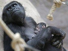 Gorilí mládě, které se koncem dubna nečekaně narodilo v pražské zoo, je sameček.