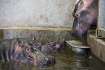 Ve dvorské zoologické zahradě se narodilo mládě hrocha
