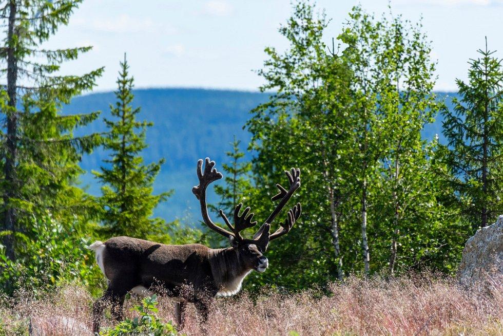Velký sob na horách na území Laponska
