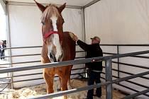 Kůň Big Jake - Belgický valach Big Jake a jeho majitel Jerry Gilbert na farmě v americkém Milwaukee na snímku z 11. dubna 2014.    Milwaukee (USA) - V americkém státě Wisconsin podle agentury AP uhynul nejvyšší kůň na světě. Dvacetiletý belgi