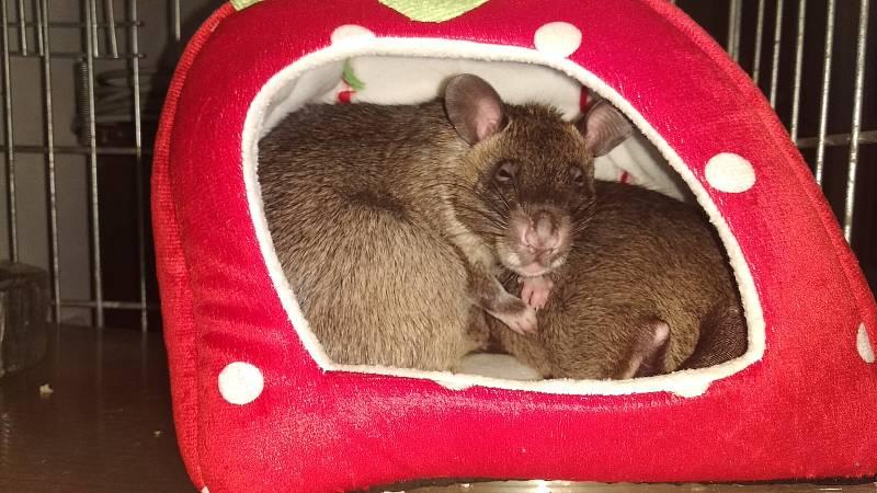 Krysa obrovská rozhodně nepatří mezi běžné domácí mazlíčky. Tento druh, známý také jako gambijská krysa nebo dle překladu latinského rodového názvu Cricetomys – křečkomyš, je velmi náročné ochočit.