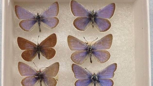 Motýl Xerces modrý z přírody zmizel před osmdesáti lety, nyní je k vidění už jen v muzejních sbírkách.
