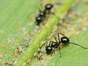 Mravenec. Ilustrační foto