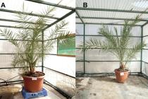Sazenice palmy, která vyklíčila ze starého semene