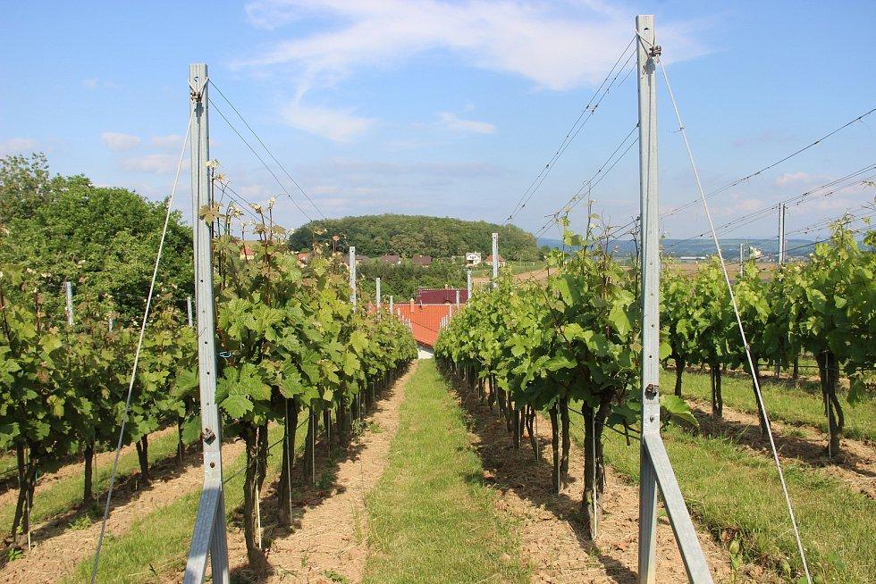 Že patří pěstování vína na jižní Moravu?  Vladimír Matela ze Sobíšek na Přerovsku dokazuje, že to nemusí být tak úplně pravda