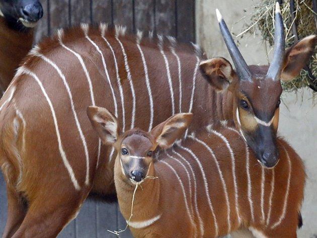 Africká asociace zoologických zahrad a akvárií (PAAZA) kvůli usmrceným antilopám sitatunga z Prahy odebrala zoo v Johannesburgu akreditaci a minimálně na dalších dvanáct měsíců jí pozastavila členství. Ilustrační foto.