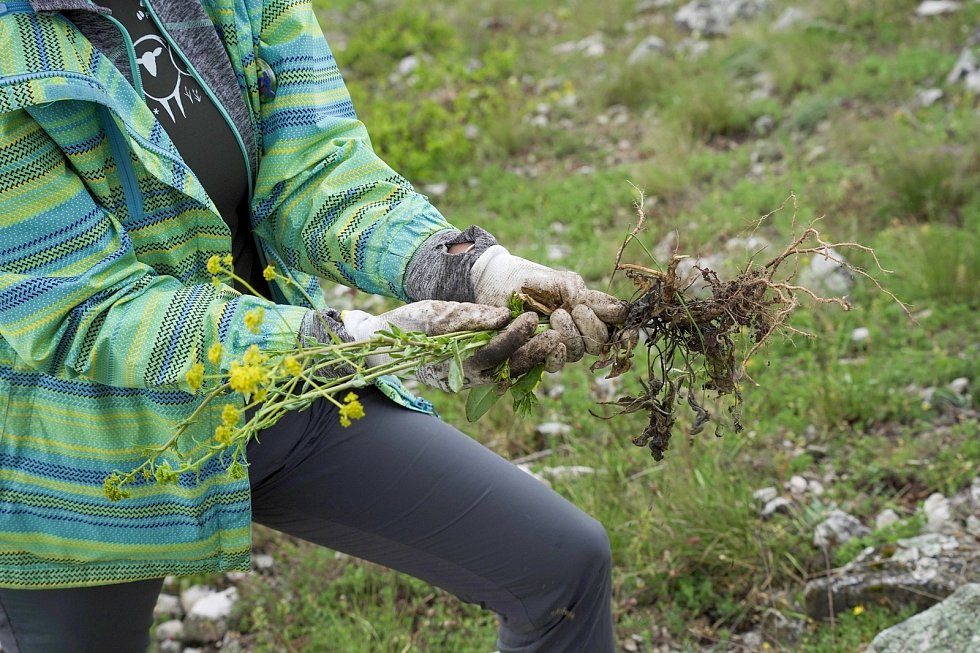 Dobrovolníci pomáhali ochráncům přírody na Pálavě likvidovat invazní boryt barvířský. Rostlina se žlutými květy se rozšířila zejména na jihovýchodně orientovaných bezlesých strmých svazích Děvína. V cenné rezervaci působí problémy. Vytrhává se ručně.