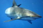Pravěký žralok. Ilustrační snímek