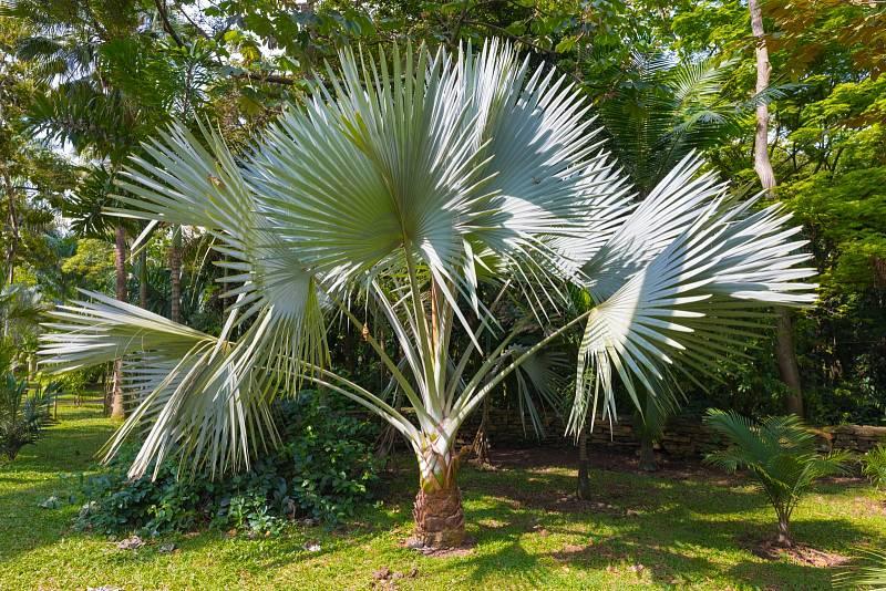 Některé palmy vydrží na vaší zahrádce i celý rok. Musíte si ale vybrat tu, která chlad a mráz zvládne.