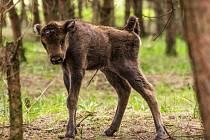 První mládě zubra se dnes narodilo ve stádu v rezervaci v Milovicích na Nymbursku.
