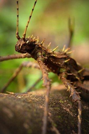 Odborníci zolomoucké a ostravské univerzity objevili při výzkumu vdeštných lesích Bornea nové druhy bezobratlých živočichů ineznámou rostlinu. Znárodního parku Ulu Temburong si olomoučtí a ostravští vědci přivezli inový druh strašilky (na snímku).