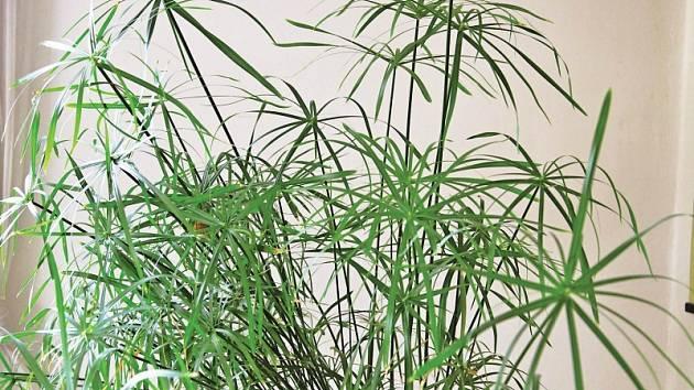 Šáchor krůstu potřebuje nadbytek vláhy ateplo, stejně jako odpovídající substrát.