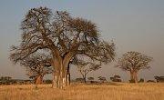 Baobab v Africe